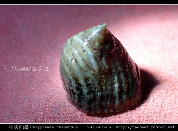 中國舟螺 Calyptraea chinensis_4.jpg