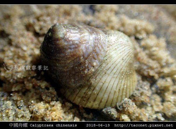 中國舟螺 Calyptraea chinensis_6.jpg