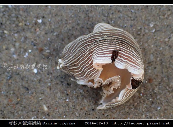 虎紋片鰓海蛞蝓 Armina tigrina_1.jpg