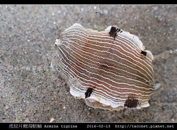 虎紋片鰓海蛞蝓 Armina tigrina_2.jpg
