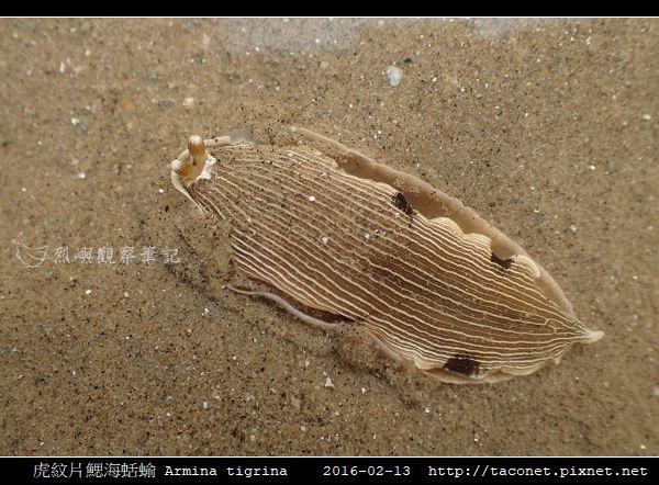 虎紋片鰓海蛞蝓 Armina tigrina_4.jpg