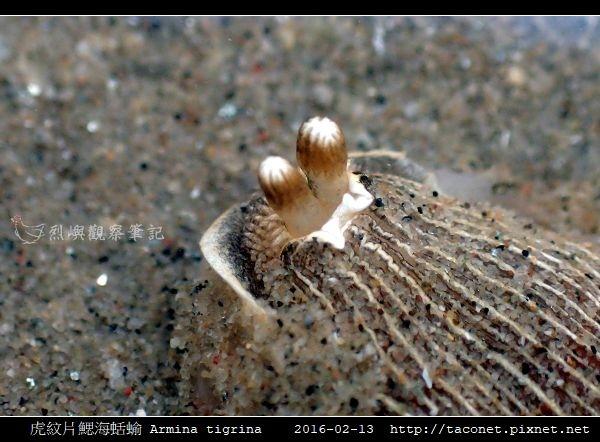虎紋片鰓海蛞蝓 Armina tigrina_6.jpg