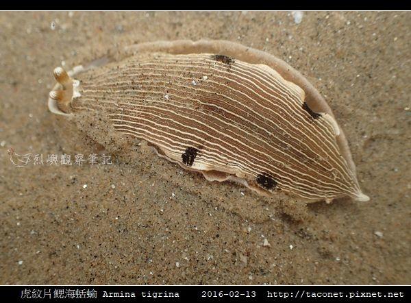 虎紋片鰓海蛞蝓 Armina tigrina_5.jpg