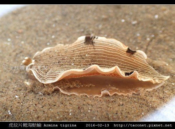 虎紋片鰓海蛞蝓 Armina tigrina_7.jpg
