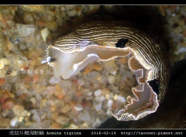 虎紋片鰓海蛞蝓 Armina tigrina_8.jpg