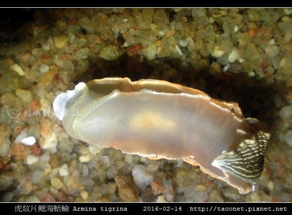 虎紋片鰓海蛞蝓 Armina tigrina_9.jpg