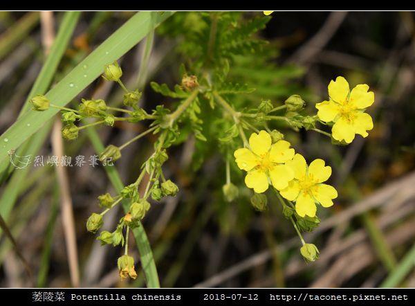 萎陵菜 Potentilla chinensis_01.jpg