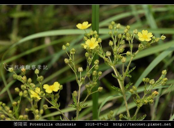 萎陵菜 Potentilla chinensis_02.jpg