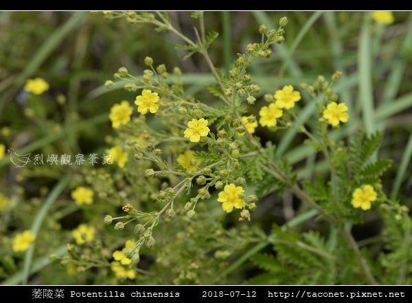 萎陵菜 Potentilla chinensis_03.jpg