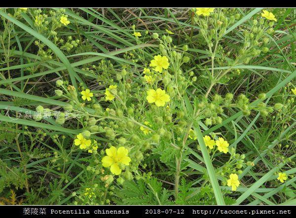 萎陵菜 Potentilla chinensis_05.jpg