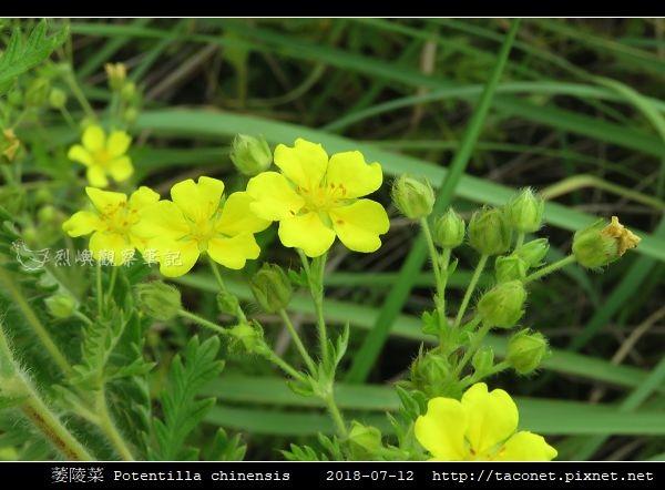 萎陵菜 Potentilla chinensis_06.jpg