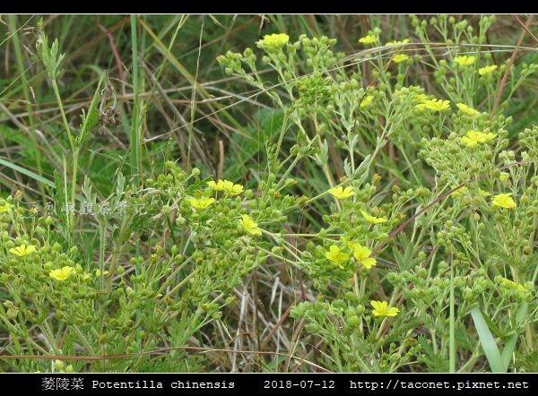 萎陵菜 Potentilla chinensis_07.jpg