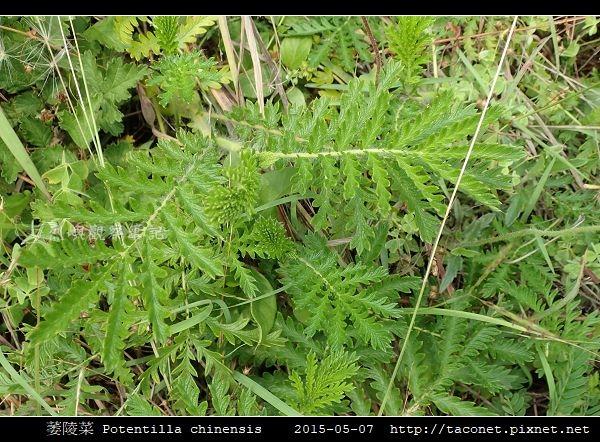 萎陵菜 Potentilla chinensis_09.jpg