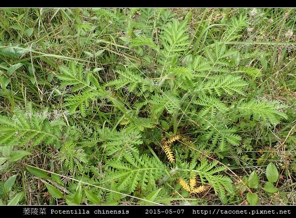萎陵菜 Potentilla chinensis_10.jpg