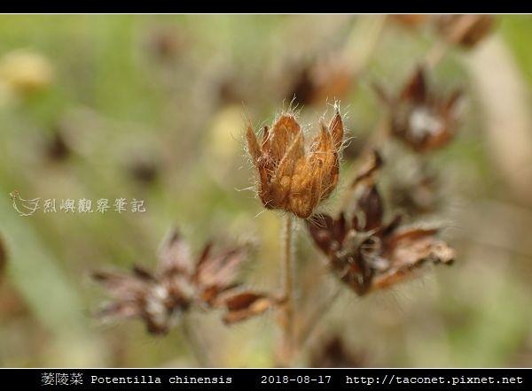 萎陵菜 Potentilla chinensis_11.jpg