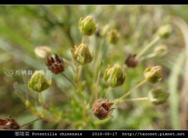 萎陵菜 Potentilla chinensis_13.jpg