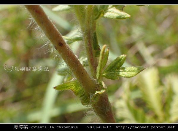 萎陵菜 Potentilla chinensis_14.jpg