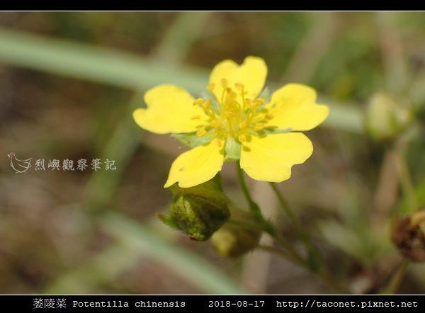 萎陵菜 Potentilla chinensis_15.jpg