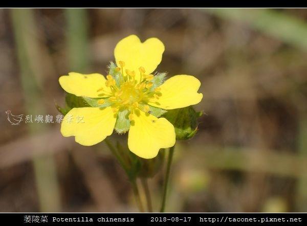 萎陵菜 Potentilla chinensis_16.jpg