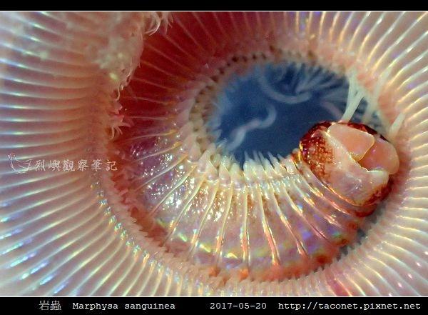 岩蟲 Marphysa sanguinea_01.jpg