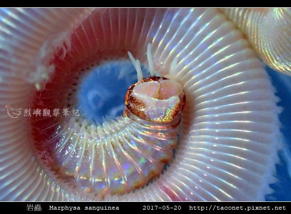 岩蟲 Marphysa sanguinea_02.jpg