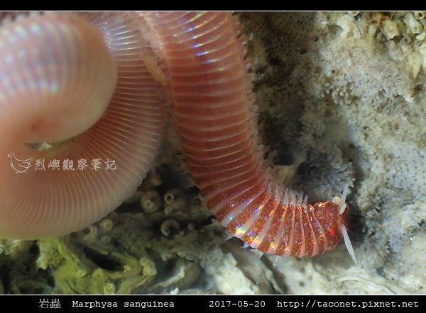 岩蟲 Marphysa sanguinea_09.jpg