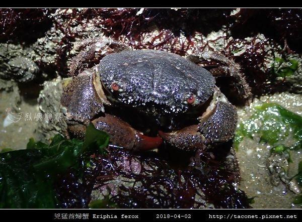 兇猛酋婦蟹 Eriphia ferox  (1).jpg