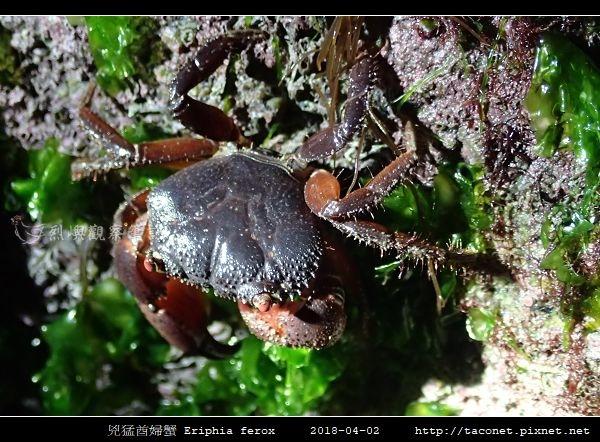 兇猛酋婦蟹 Eriphia ferox  (2).jpg