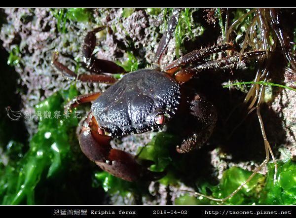 兇猛酋婦蟹 Eriphia ferox  (3).jpg