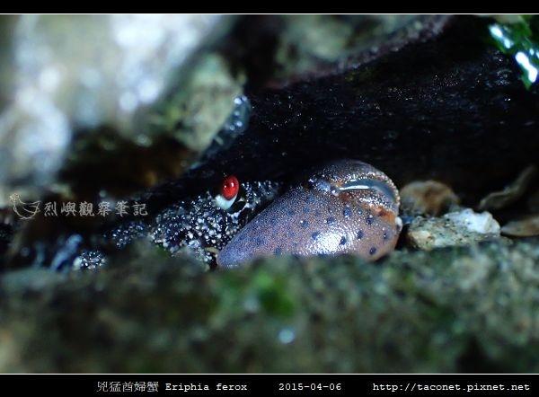 兇猛酋婦蟹 Eriphia ferox  (4).jpg
