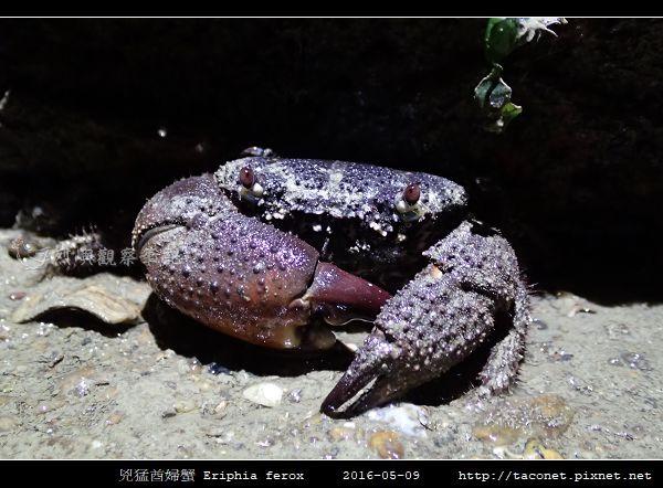 兇猛酋婦蟹 Eriphia ferox  (6).jpg