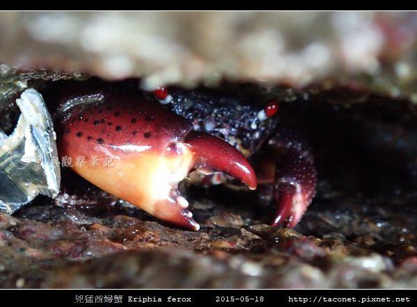 兇猛酋婦蟹 Eriphia ferox  (7).jpg