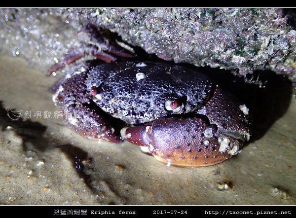 兇猛酋婦蟹 Eriphia ferox  (10).jpg