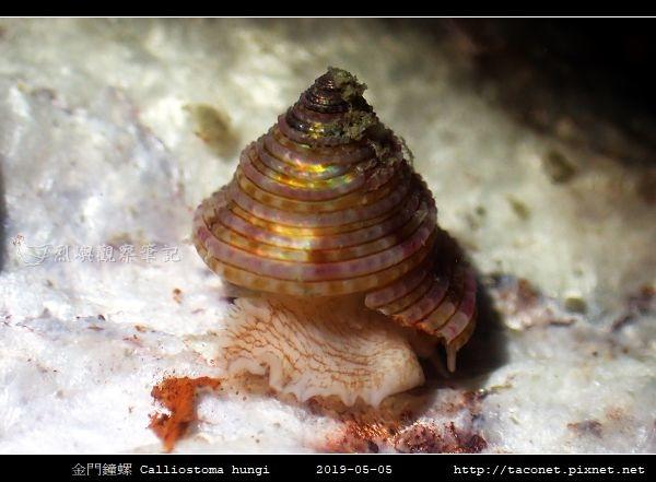 金門鐘螺 Calliostoma hungi _01.jpg