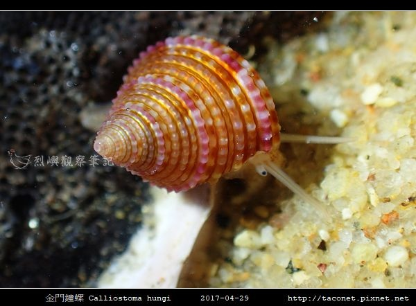 金門鐘螺 Calliostoma hungi _04.jpg