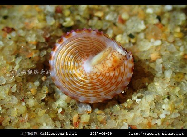金門鐘螺 Calliostoma hungi _06.jpg