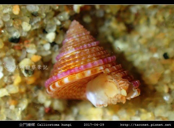 金門鐘螺 Calliostoma hungi _08.jpg