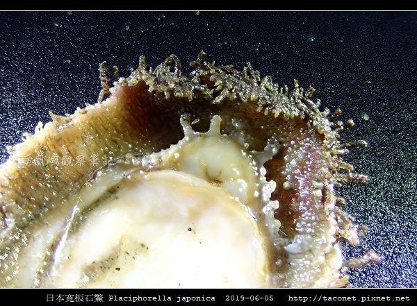 日本寬板石鱉 Placiphorella japonica_4.jpg
