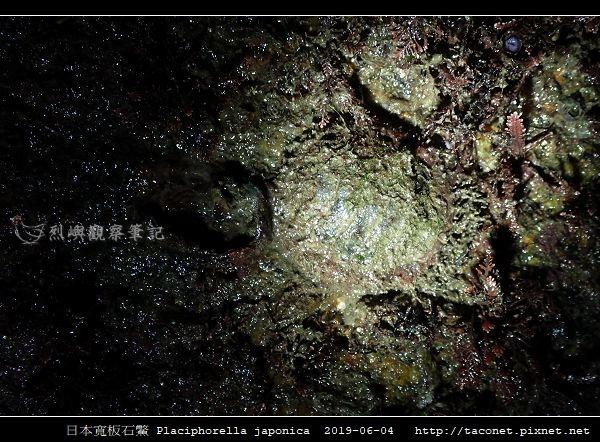 日本寬板石鱉 Placiphorella japonica_8.jpg
