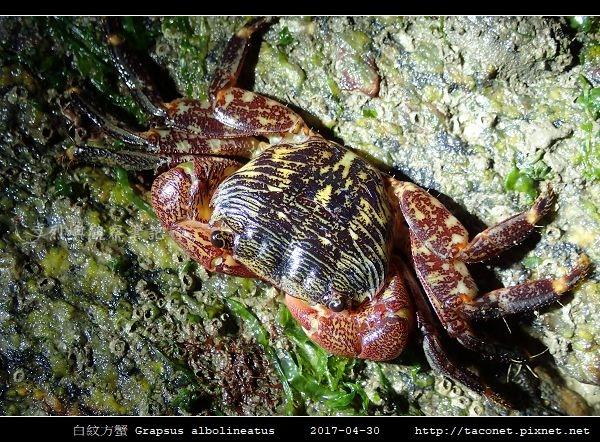 白紋方蟹 Grapsus albolineatus_2.jpg
