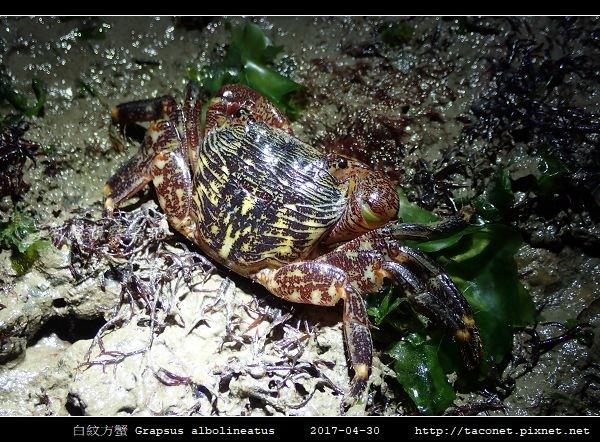 白紋方蟹 Grapsus albolineatus_3.jpg