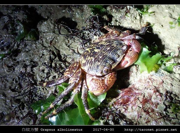 白紋方蟹 Grapsus albolineatus_4.jpg
