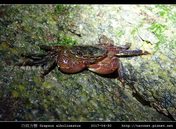 白紋方蟹 Grapsus albolineatus_5.jpg