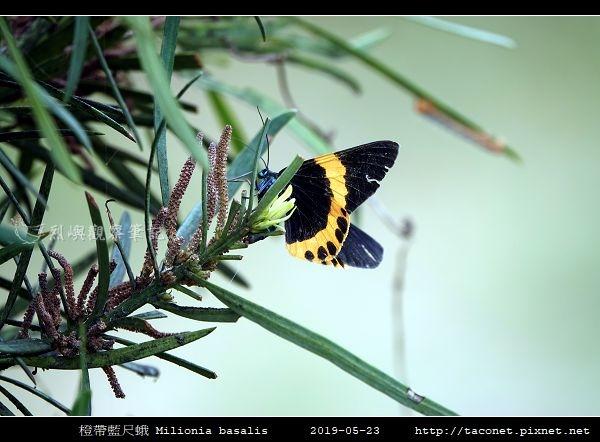 橙帶藍尺蛾 Milionia basalis_01.jpg