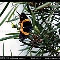 橙帶藍尺蛾 Milionia basalis_02.jpg