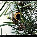 橙帶藍尺蛾 Milionia basalis_03.jpg