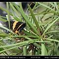 橙帶藍尺蛾 Milionia basalis_04.jpg