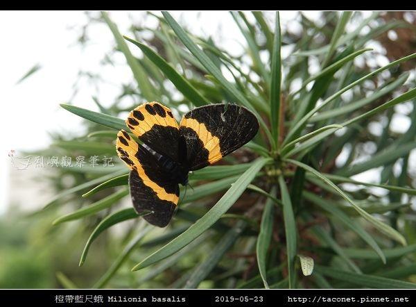 橙帶藍尺蛾 Milionia basalis_05.jpg