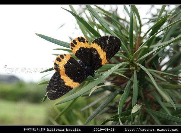 橙帶藍尺蛾 Milionia basalis_06.jpg