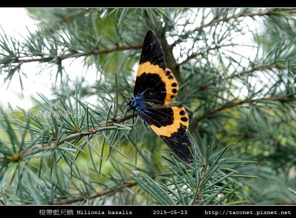 橙帶藍尺蛾 Milionia basalis_07.jpg